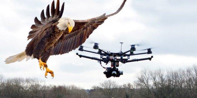 La policía holandesa retira las Águilas caza drones porque…